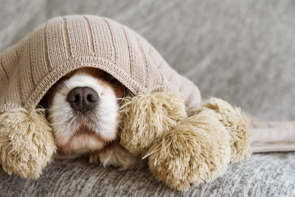A scared dog under a blanket with a stuffed toy.