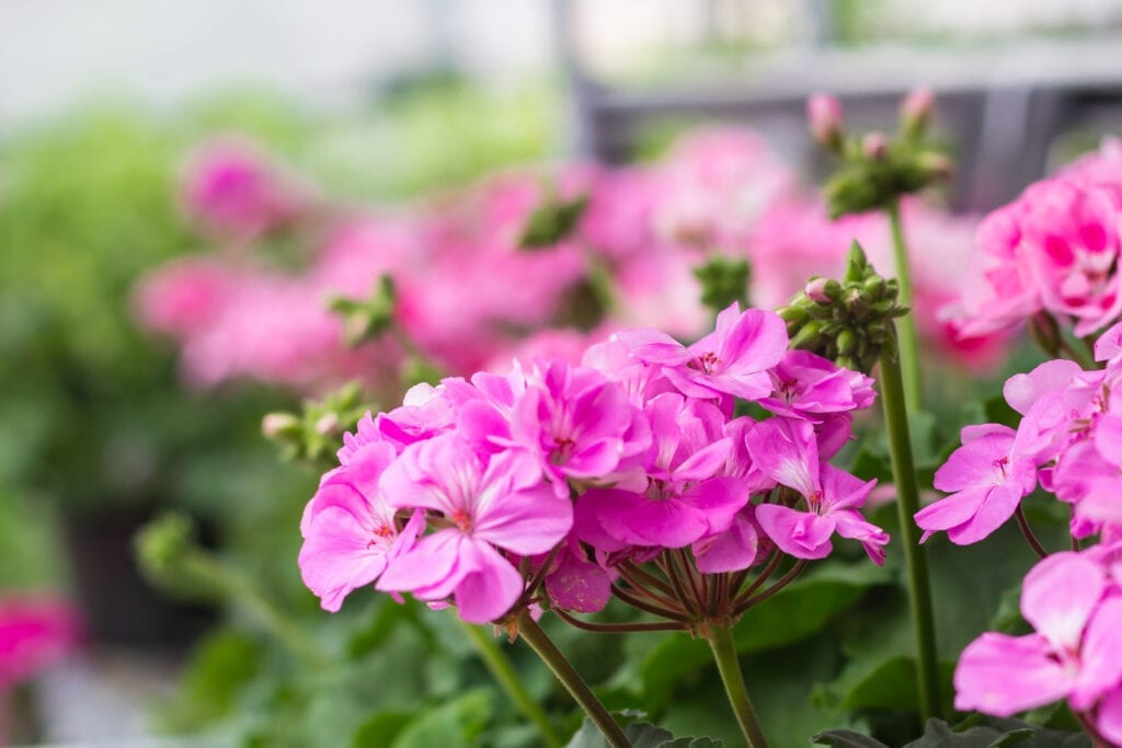 Geraniums, known for repelling insects, have Geranoil and other terpenes to thank.