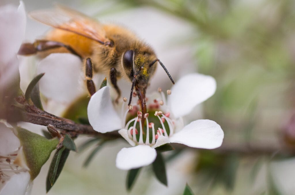 A honey bee on a manuka tree flower in New Zealand.
