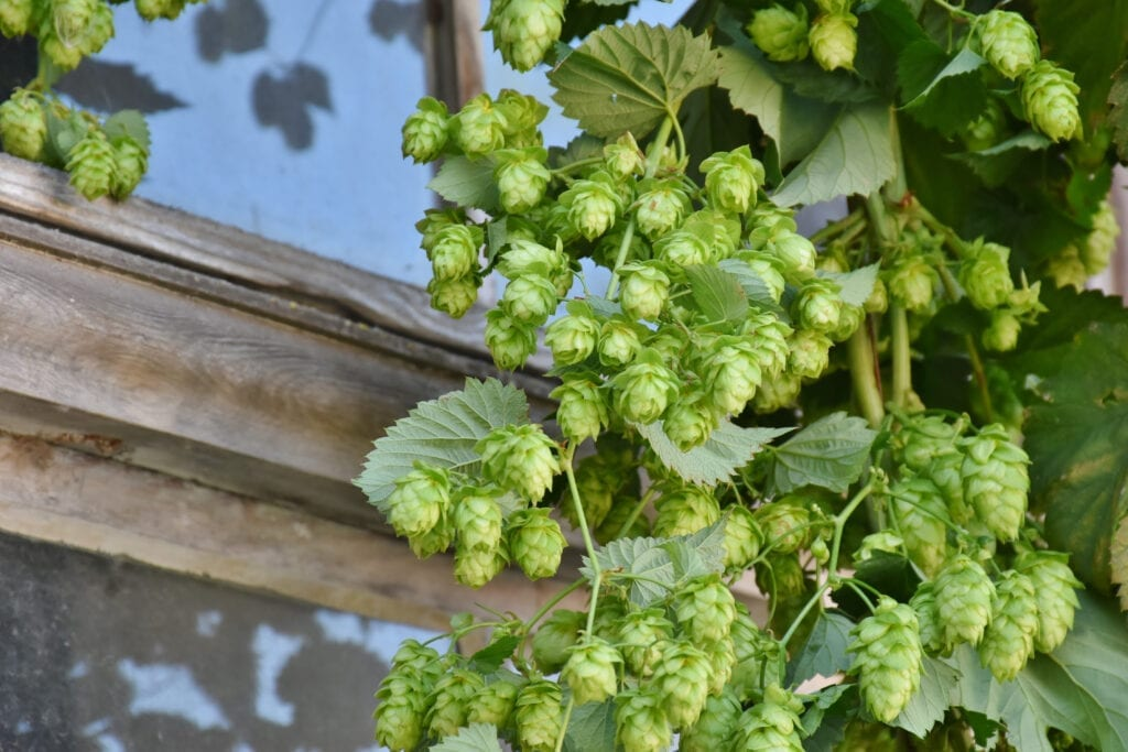 a hop vine, showing that hops have their aroma coming from the primary cannabis terpene - humulene