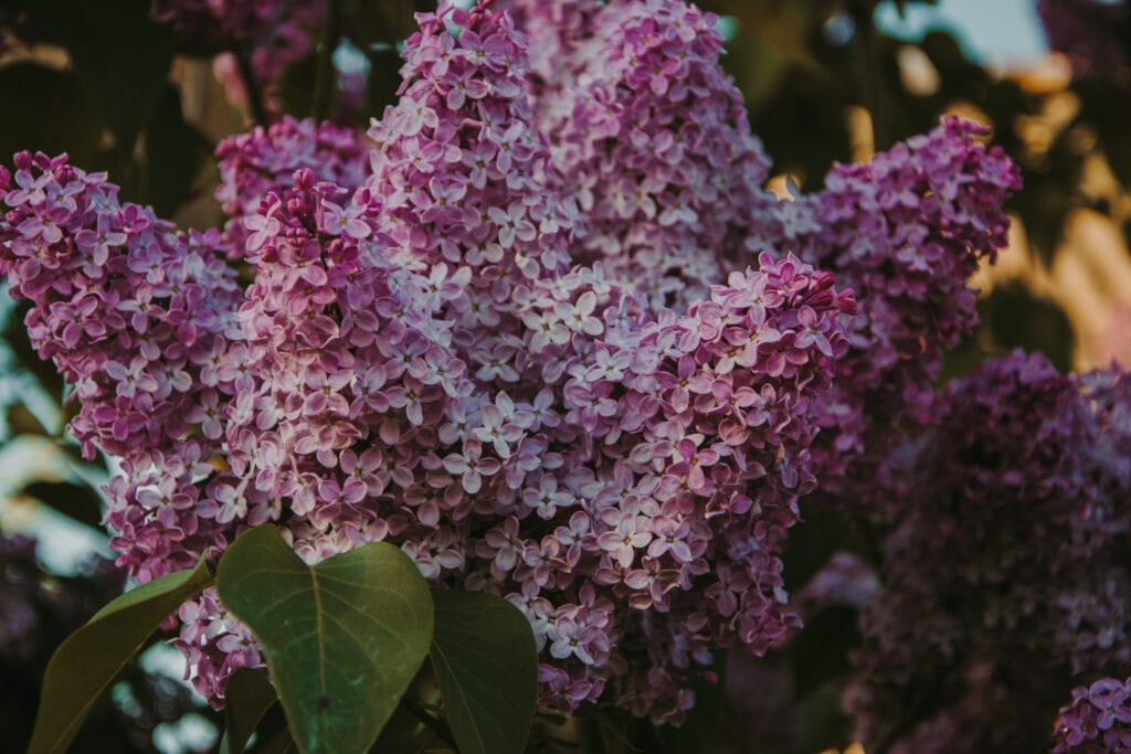 lilacs have terpineol, one of the primary cannabis terpenes